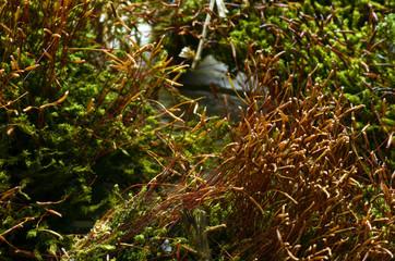 Bryophyta Briófitas Мохообразные نباتات لاوعائية
