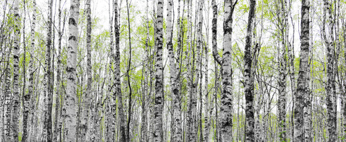 Forest with trunks of birch trees - 81467299