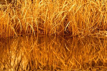 Golden reeds at sunset in Brookgreen Gardens, South Carolina.