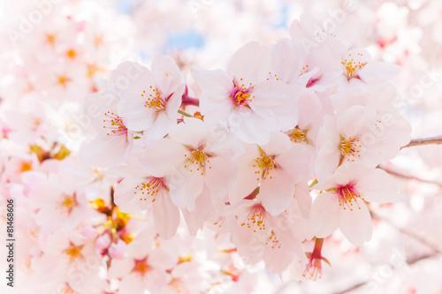 日本の満開の桜 壁紙や背景用にJapanese cherry blossoms full bloom