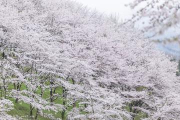 桜(ソメイヨシノ)が一面に咲く山肌