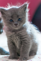 beautiful fluffy gray kitten looking at the camera