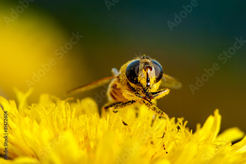 Tuinposter Bee Macro shot of a bee on a flower dandelion