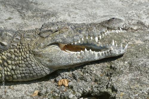 In de dag Krokodil Coccodrillo del nilo