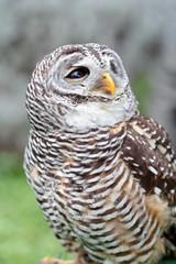Barred owl looking behind