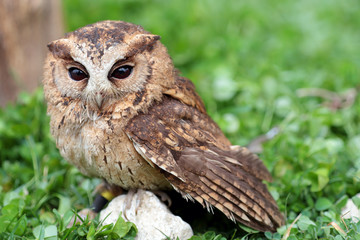 A sunda scops owl at ground
