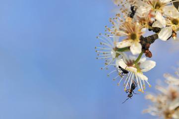 fourmis sur fleurs de cerisier