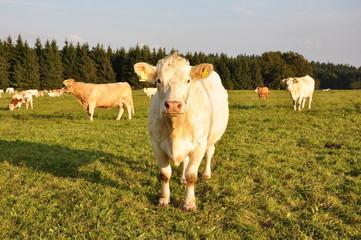 neugierige Kuh auf Weide