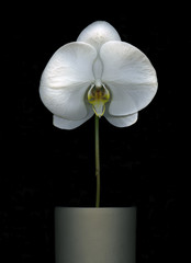 White Orchid isolated on black background