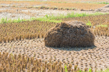 Straw rice fields after harvest