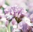 Spring Iris Flowers