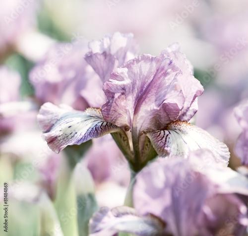 Staande foto Iris Spring Iris Flowers