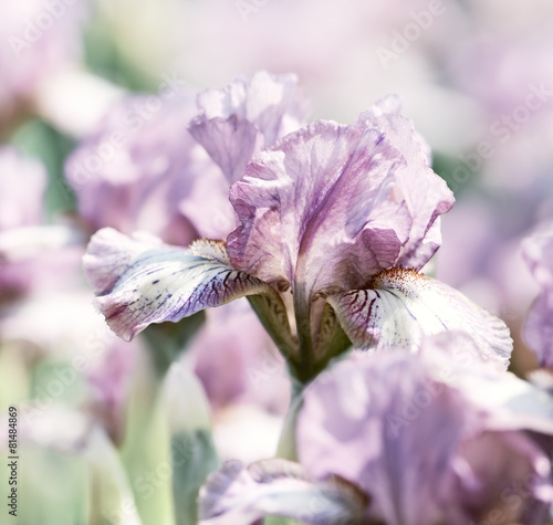 Foto op Canvas Iris Spring Iris Flowers