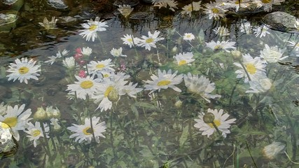 Beautiful daisies bloom, shooting through the water