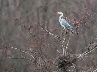 Grey heron near the nest