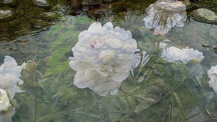 White peony blooms, shooting through the  water