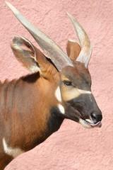 Testa di antilope