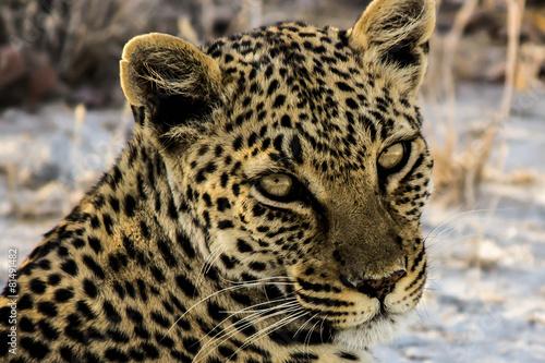 Fotobehang Luipaard Nahaufnahme eines Leopards