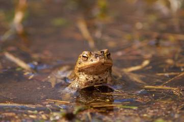 Der stolze Frosch