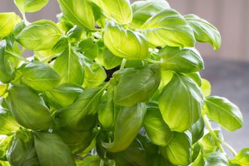 Basilikum ein Produkt der Natur