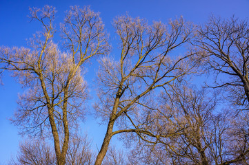 Bare branches of a tree against blue sky, nature spring