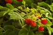 Wild strawberry plant with red fruit - Fragaria vesca