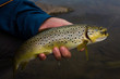 brown trout in the hands of men