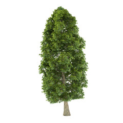 Tree isolated. Tilia platyphyllos