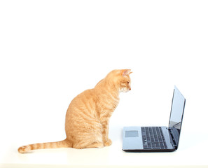 Domestic cat with laptop computer.
