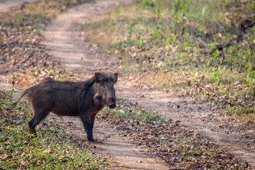 Wildboar on forest road