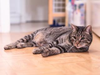 Getigerter Kater liegt entspannt auf dem Boden