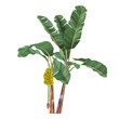 Palm plant tree isolated. Musa acuminata banana - 81498068
