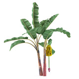 Palm plant tree isolated. Musa acuminata banana