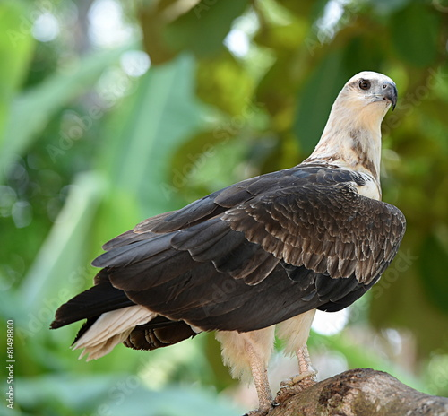 Deurstickers Eagle pygargue blagre