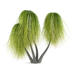 Palm tree isolated. Beaucarnea Recurvata