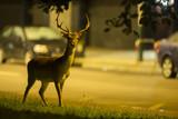 Urban deer - Dama dama