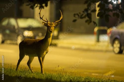 Foto op Aluminium Hert Urban deer - Dama dama