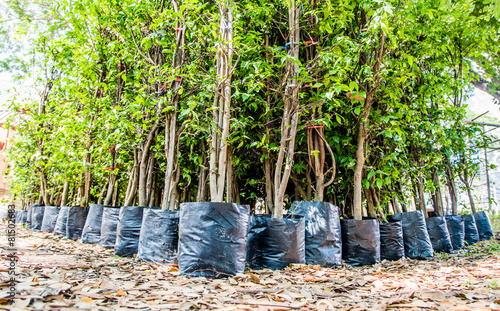 young tree nursery in black plastic bag waiting for plant - 81502683
