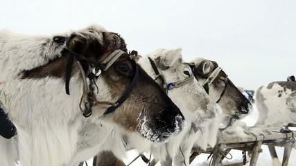 Reindeers on the national holiday on Yamal