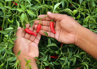 Hand holding some red chili peppers