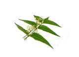 Medicinal Neem leaves with flower