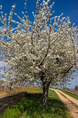 cerisier en fleurs dans les vignes