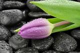 Mokry tulipan na kamieniach bazaltowych