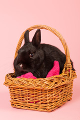 Black rabbit on pink background