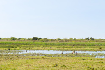 Gooses in nature