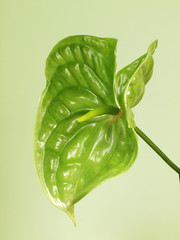 Green anthurium flower