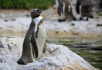 Humboldt Penguin on the stone