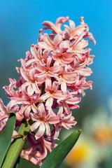 Pink Spring Hyacinth