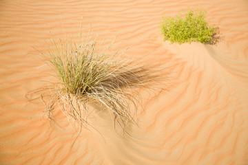 Some green plants in desert sand
