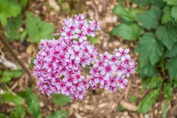 Pink Flox Blossoms